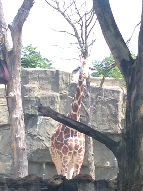 Giraffe Lincoln Park Zoo
