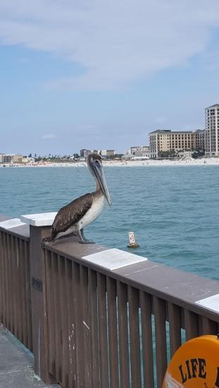 pier-pelican